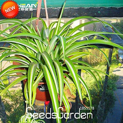 Big Promotion! 100pcs / Graines Lot Chlorophytum Bonsai Dévier Plantes vivaces Formaldéhyde en pot Plantes d'intérieur, # KGFXGE