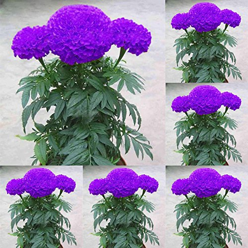 200 pcs/sac bleu pourpre Marigold Graines Graines de fleurs en plein air Bonsai Accueil Gardeing Plantation