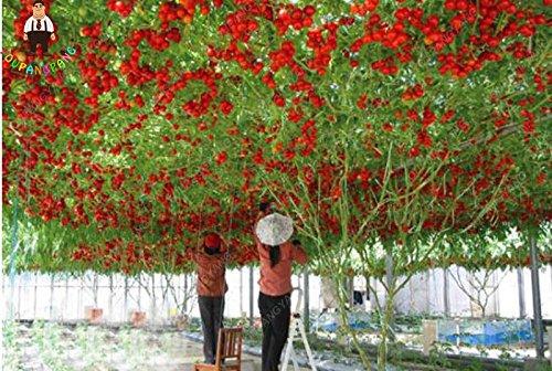 200 Pcs Big Tomate cerise arbre Graines Italie Nouvelle Graines de tomate Pas-ogm fruits et légumes Graines de jardin Plantation