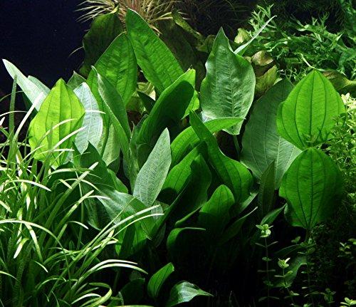 WFW wasserflora Steifblättriger Froschlöffel/Echinodorus 'Palaefolius' VAR. latifolius