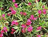 RWS 100 semillas Nerium oleander, oleander, adelfas,...