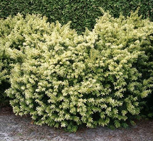 Taxus baccata Golden Nugget - Breitwachsende Goldeibe Golden Nugget