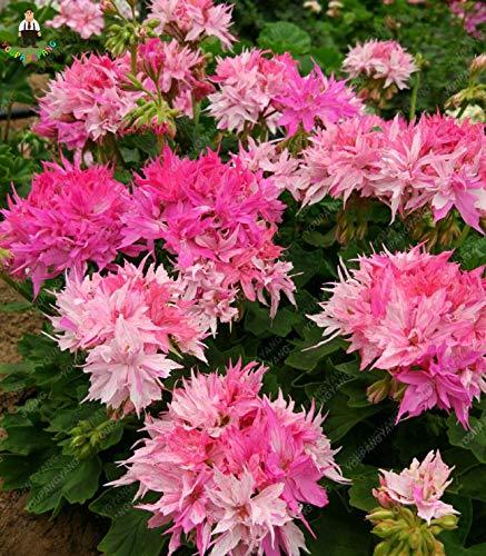 Rose: Svi frais 100 Pcs frais Géranium Graines de fleurs pour la plantation rose