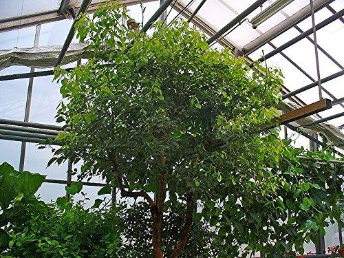 12 semi di albero di canfora (Cinnamomum camphora)
