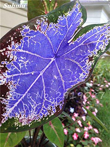 100 Pcs mixtes Graines Begonia Bonsai Graines de fleurs Balcon Cour coleus Graines Plantes Begonia coloré pour jardin en pot 13