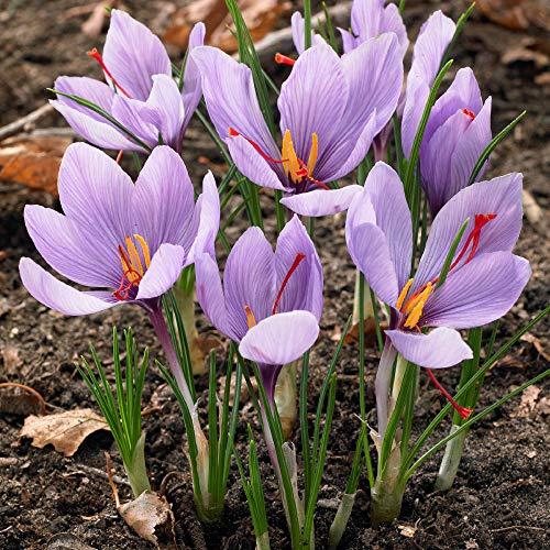 12x Crocus sativus | Krokuszwiebeln aus Safran | Violette Blüten | Blühende mehrjährige Pflanzen | Ø 8cm +