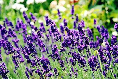 graines de fleurs Bonsai Anglais lavande graines, lavande angustifolia, les graines de vanille importées d'espèces indigènes -100 pcs graines
