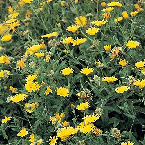 Suffolk Herbes - Pot Marigold organique - 75 graines