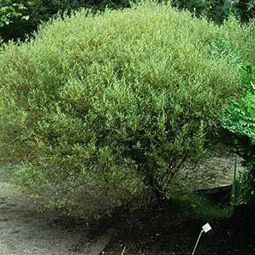 3 x Salix Purpurea 'Nana'- Saule pourpre 'Nana' 30-40 cm en conteneur
