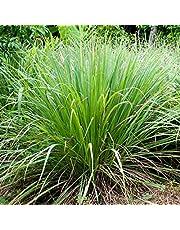 Semillas de Citronela Cymbopogon Flexuosus 70 Semillas de Lemongrass