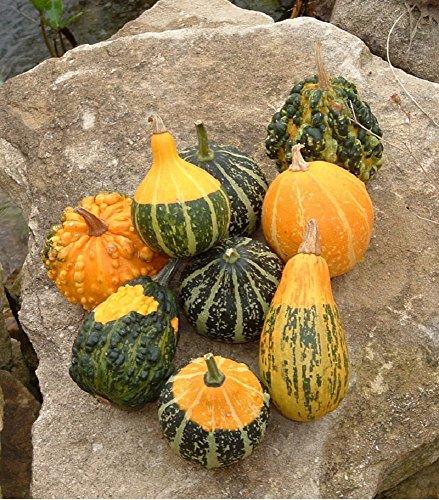 Lot de 10 graines Coloquintes à petits fruits en mélange - plante annuelle
