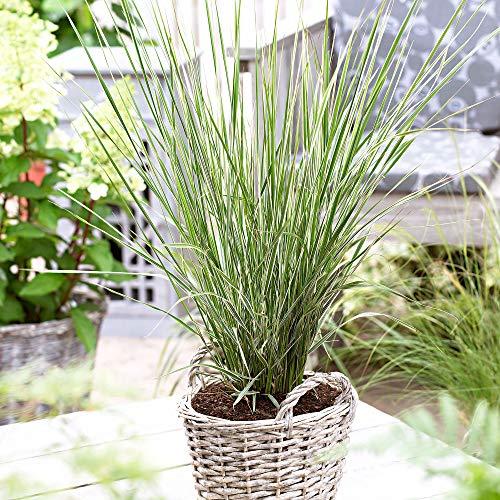 "Calamagrostis x acutiflora\""Overdam\"" | 2er Set Reitgras | Ziergras winterhart | Höhe 30-40cm | Topf-Ø 14cm"