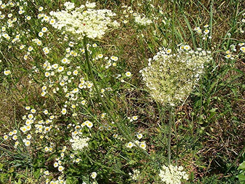 GETSO Samen-Paket Nicht Pflanzen: 350 Borretsch/Blume Sehr Honig Seeds