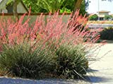 Red Yucca Hesperaloe Parviflora Bush Live Rooted Plant 6-10 Inches...