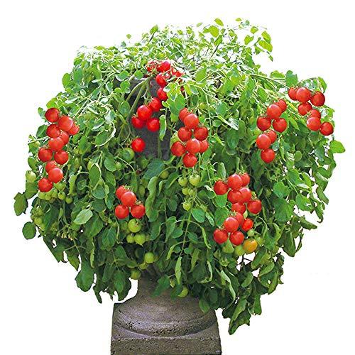 ミニトマト苗 トマト大王【野菜苗 9cmポット自根苗/2個セット】ハンギングトマトの王様!支柱いらずで楽々多収穫!NEWタイプミニトマト!実の先が少しとがっているので縦に切るとかわいいハート型になります。受粉しなくても実が生る単為結果性(たんいけっかせい)を持った品種です!トマトトーン等のホルモン処理の必要が無く、虫が来ないマンションのベランダなどでも段とび無く連続着果します。長い支柱不要・わき芽かき不要で簡単手間いらず栽培可能の美味しいハンギングタイプミニトマト!!しだれ、しだれて沢山ミニトマトが収穫できます。主枝が高さ40~60cm程度で伸びが止まり脇枝がどんどん出てしだれるコンパクトミニトマト!長い支柱不要・わき芽かき不要で簡単手間いらず栽培可能の美味しいミニトマト!畑やお庭、プタンターやコンテナーなど省スペースで栽培可能です。酸味と甘みのバランスが良く食味良好です。新鮮野菜苗自社農場より直送!! 【即出荷!!】