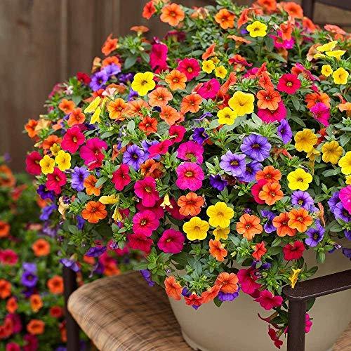 Winde Samen Bunte Blumensamen Kletterpflanzen Winterhart Schnellwachsend für Anfänger geeignet Garten Kräuter-Samen Gartendeko Winde Samen