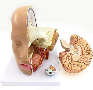 4 جزء رئيس الإنسان الجمجمة تشريح الدماغ التشريح التشريحية عن طريق الفم الناسم النموذجي نموذج العلوم الطبية