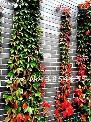 Japon semences vivaces herbes Semence à gazon Plantes Résistance au froid Escalade Fleur Graine feuilles colorées en plein air Bonsai 20 Pcs