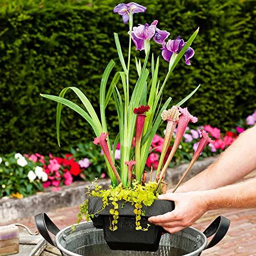 3 Miniteich Pflanzen | Teichpflanzen winterhart Set | Schwimminsel Teich | Höhe 30-40cm | Topf-Ø 24cm