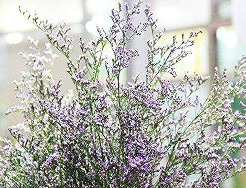 Limonium gmelinii Siberian Statice Perennial Mix Flowers Seeds 30+ for Home Garden Yards Planting