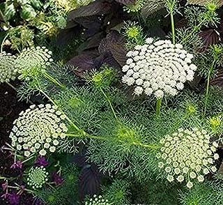 50_Seeds Ammi visnaga Green Mist | Toothpick Weed