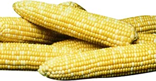 Sweet Corn Honey 'N Pearl F1 - Insect Guard Treated Vegetable Seeds - Approx. 250 Seed Package