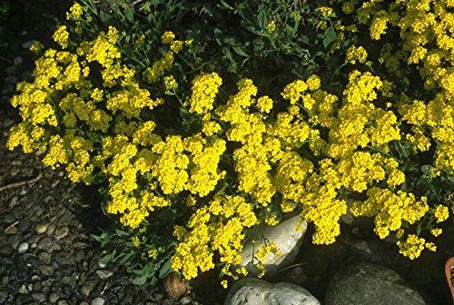 Goldgelbes Steinkraut Alyssum saxatile 150 Samen