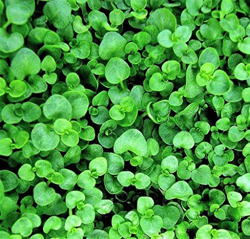 Portal Cool 20 korsischen Mint Korsische Minze Herb Duftende Bodendecker Blumensamen + Gift