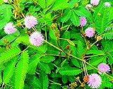 Paquete de 100 semillas, semillas de plantas sensibles: Mimosa Pudica, planta móvil, planta tímida, planta vergonzosa, Touch-me-not - planta verde para la decoración del jardín