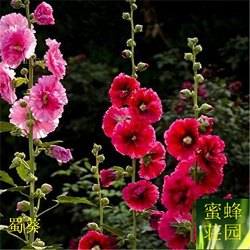 Sophora Japonica Bonsai zehn Fuß rot Bonsais gekocht Saison Blume Bonsais Rong Kwai Zaun Blume über 100pcs (SHU kui): 1