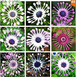 Osteospermum semillas 100pcs / bag, semillas, flores margarita osteospermum, 8 colores, semillas de flores, bonsai Natural...