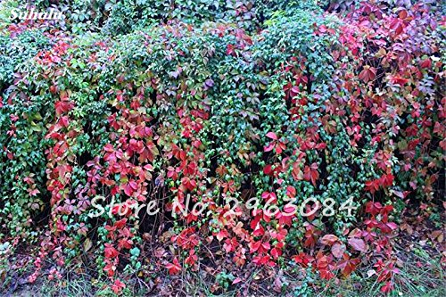 AAA coloré Boston Seed jardin Rare Parthenocissus tricuspidata semences Bonsai Plante en pot Creeper Graines Easy Grow 50Pcs