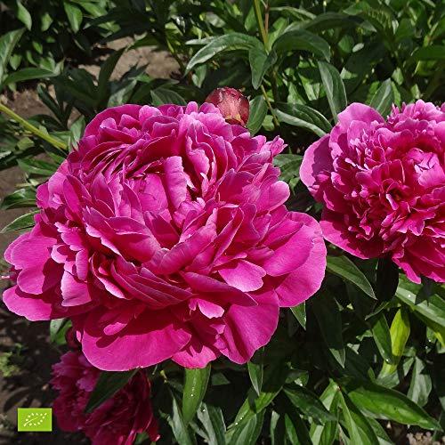 Paeonia lactiflora Karl Rosenfield |...