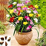 Mixed Freesia Bulbs Freesia Bulbs for Planting Double Spring Planting Indoors Freesia Bulbs for Spring Planting.(Diameter: 5cm,Five Bulbs)