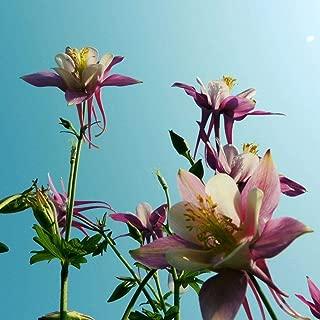 Gernen Magical Garden Seeds Perennial Mix Columbine Mckana Giant Seeds Wild Plant Seeds Flower Seeds Flowers