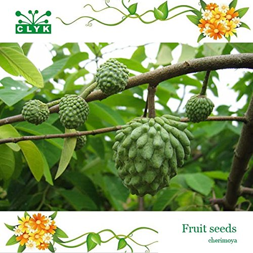 fruits tropiques Graines Cherimoya, graines d'arbres fruitiers nutrition - 10 particules