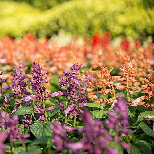 Salvia Vista Mix Samen - Feuersalbei