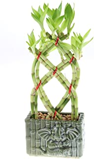 Live Lucky Bamboo Braided Arrangement with Green Ceramic Elephant Bamboo Pot - Lucky Stalks Indoor House Plant for Good Luck, Fortune, Feng Shui and Zen Gardens