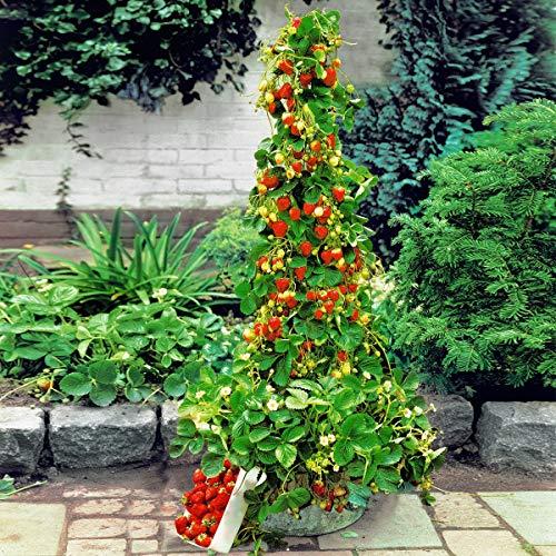 Anitra Perkins - Kletter-Erdbeere samen \'Hummi\' lecker immertragend, voll durchwurzelt Fruchtsamen, Erdbeeren im Garten, auf Balkon & Terrasse wintehart (100)
