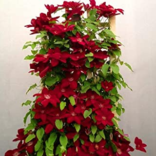 Flower Seeds, Plant Seeds, yanQxIzbiu 100Pcs Clematis Climbing Vine Seeds Flower Plant Home Office Ornament Decoration - Red