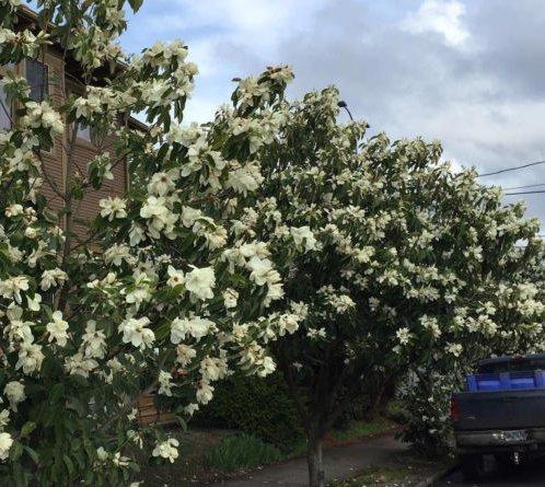Frais Michelia Maudiae Graines Très odorant Arbuste à feuillage persistant