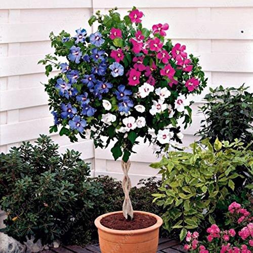 100 Bonsai Fleur Hibiscus Arbre Graines Hardy Diy jardin Plantes ornementales Plantes en pot Livraison gratuite