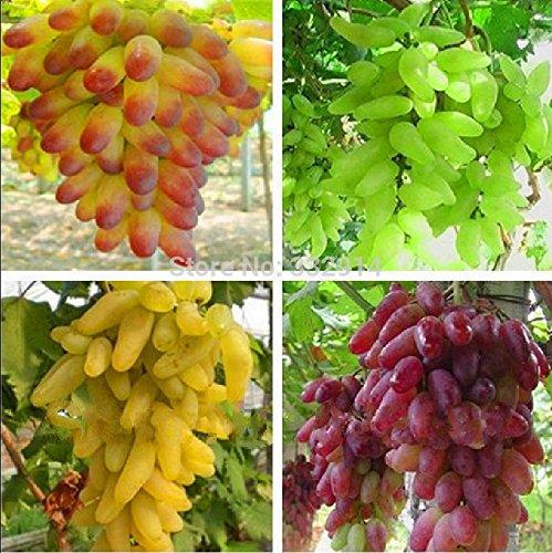 NOUVEAU 100% vrai Finger Golden Green doux de raisin Graines, 15 graines/Pack, Hardy plante délicieux fruits