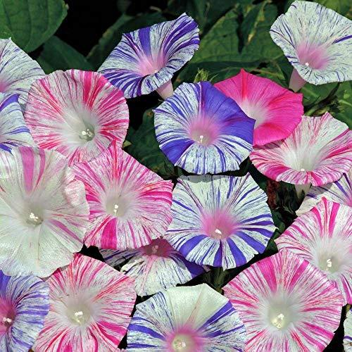 Derlam Samenhaus-50 Pcs Winde Prunkwinde Blumensamen mischung mehrjährig winterhart Bodendecker Bio Bonsai Samen Kletterpflanze für Topf Balkon Garten