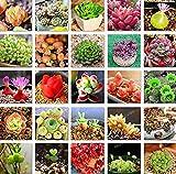 Portal Cool Echeveria 100 Mix Semillas de la variedad de plantas exóticas raras suculentas Semillas de flores exóticas