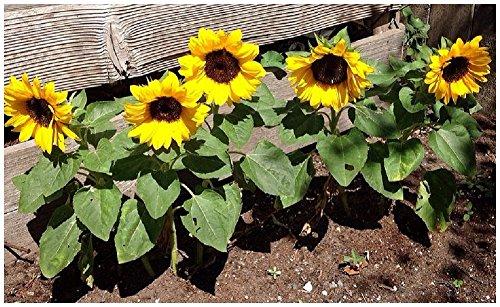 Lot de 20 graines de Tournesol Sunny Flowers - 60 cm - annuelle