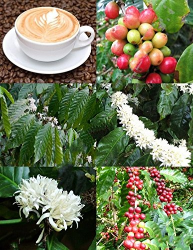 10 graines grain de café Arbre, Coffea arabica arbuste rare tropical graines de café exotique