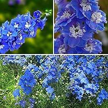 60pcs Perennial Sky Blue Larkspur Seeds Delphinium Flower Seed