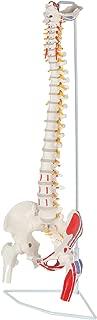 Best model of spine Reviews