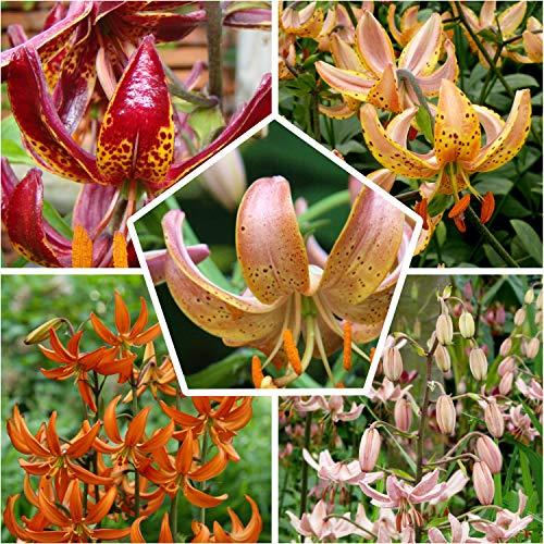 10x Martagon Lilien Kollektion in 5 Sorten, 2 von jeder Farbe, Mehrjährig und Winterhart Blumenzwiebeln Mix, Mischung aus Holland für Garten und Topf | Zwiebelgröße Ø 14-16cm